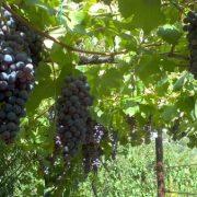Víno a hrozno