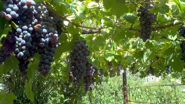 Víno a hrozno, Malokarpatská vínna oblasť